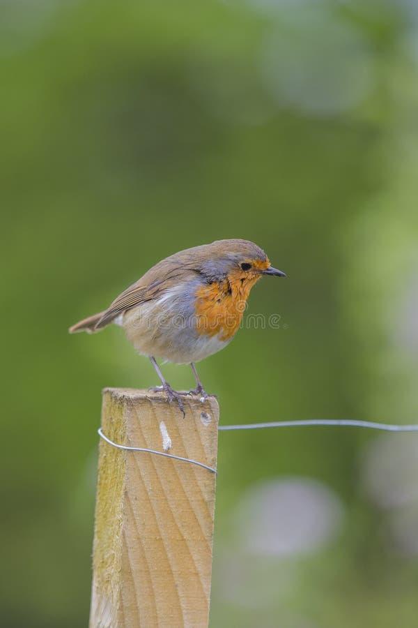 Fotografia rossa del seno di Robin dell'europeo immagine stock