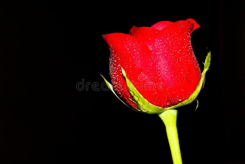 Fotografia scura della rosa rossa immagini stock libere da diritti
