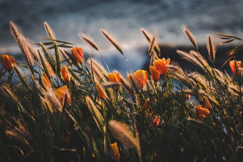 Fotografia selektywna ukierunkowana kwiatów pomarańczowych z rozmazanym tłem obraz stock