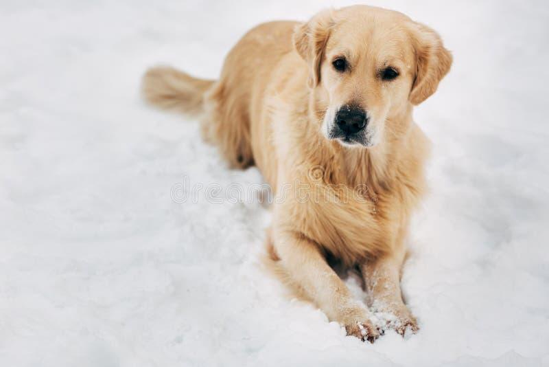 Fotografia siedzi na śniegu przy zima spacerem golden retriever obraz royalty free