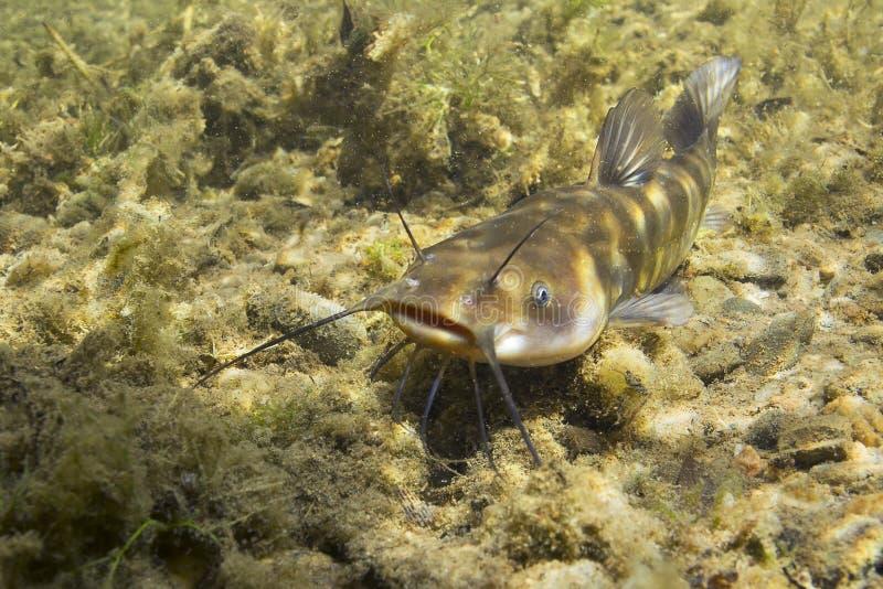 Fotografia subacquea di ameiurus nebulosus del pesce gatto del pesce gatto Pesce di acqua dolce nell'habitat della natura e dell' immagine stock