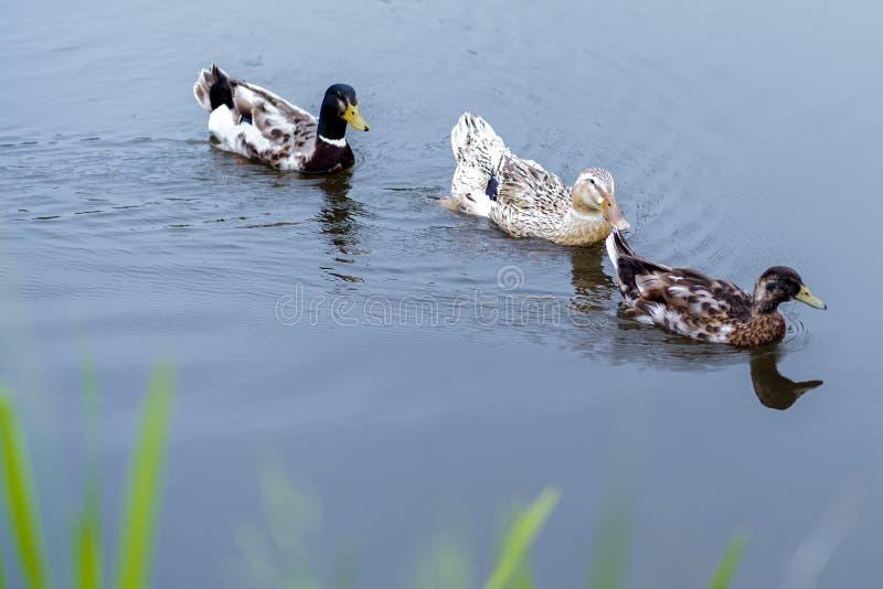 Fotografia trzy kaczki unosi się na stawie zdjęcie stock