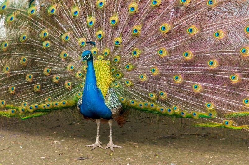 Fotografia wieloskładnikowi oczy piórka indyjski peafowl paw w pełnym pokazie obrazy royalty free