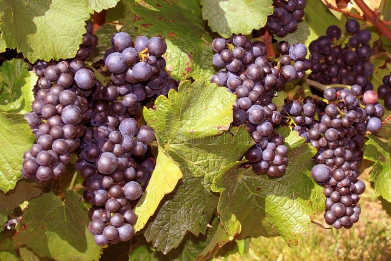 Winograd fotografia stock