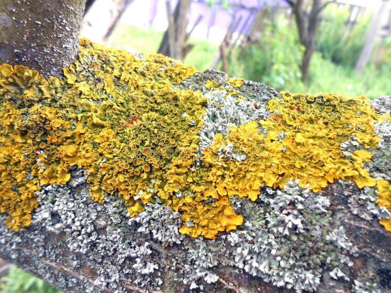 Fotografia z gałąź drzewo przerastający z liszajem zdjęcia royalty free