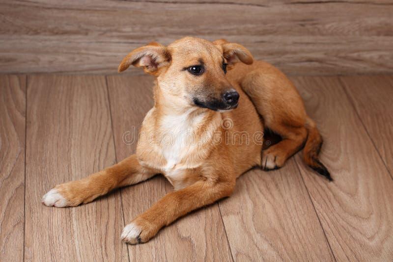 Fotografia zwierzę domowe Pies w domu zdjęcie royalty free