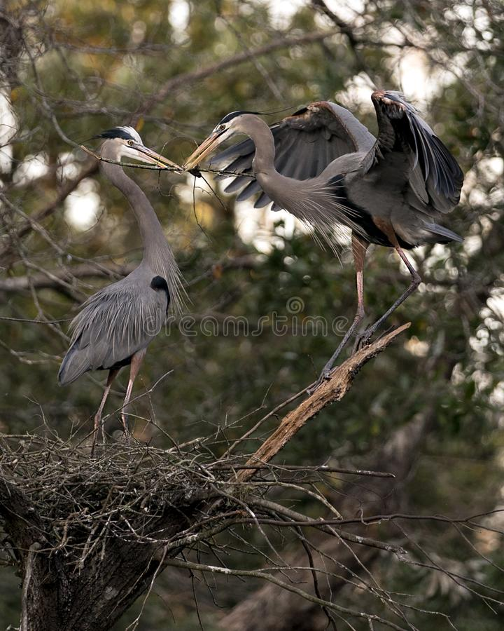 Fotografias do stock de aves do Blue Heron Pássaros Herões Azuis no ninho com galhos em seus bicos com fundo boquiaberto Coragem fotos de stock royalty free