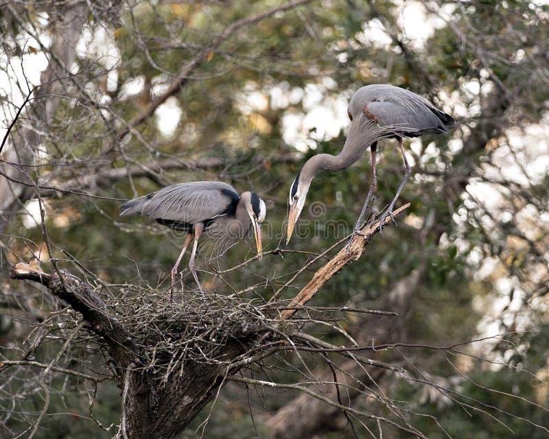 Fotografias do stock de aves do Blue Heron Pássaros Herões Azuis no ninho com galhos em seus bicos com fundo boquiaberto Coragem imagens de stock royalty free