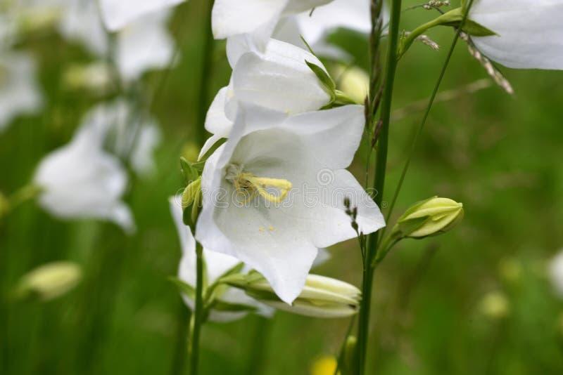 Fotografie einer weißen Glockenblume-Glockenblume genommen unter Verwendung einer Makrolinse stockbild