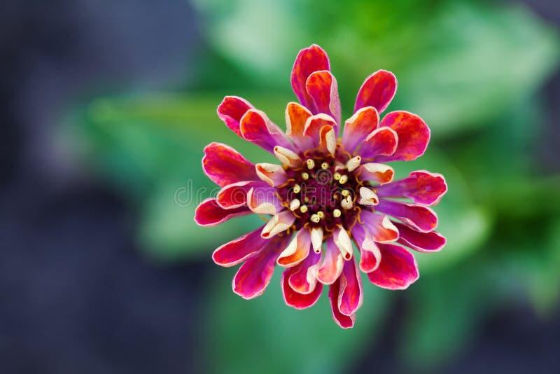 Fotografie van de de bloem de macromening van Zinnia Elegante rode violette bloemblaadjesinstallatie op vage groene achtergrond O stock fotografie