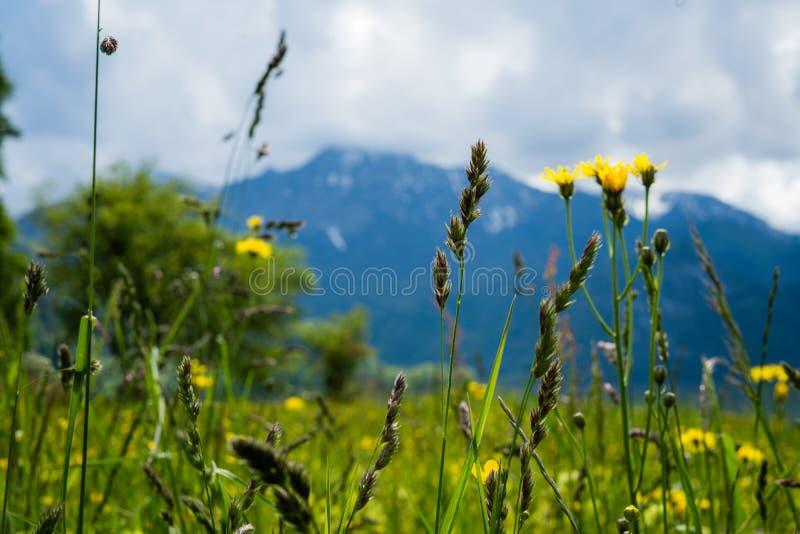 Fotografie von Blumen mit Berg im Hintergrund stockfotos
