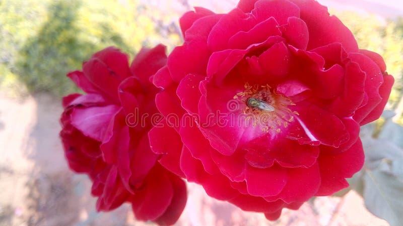 Fotografie von Rose stockbild
