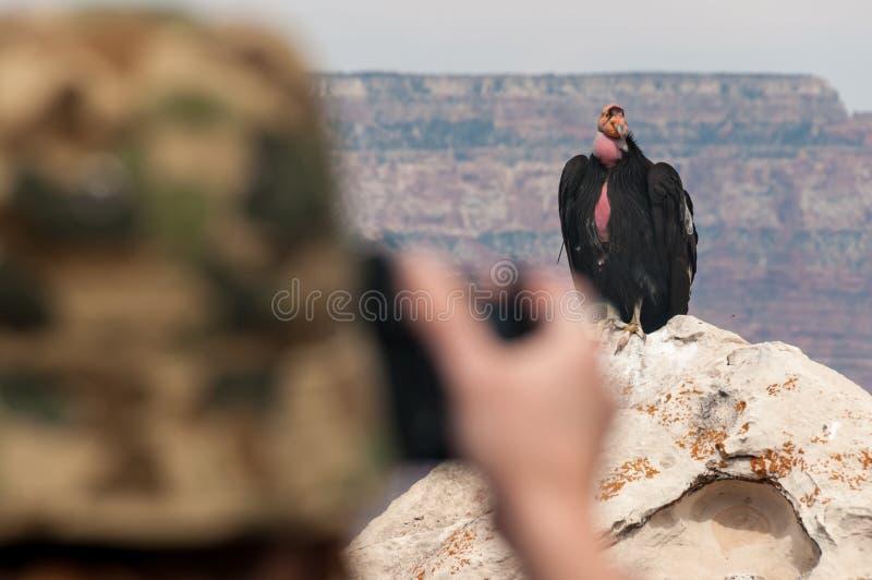Fotografieren eines Kondors bei Grand Canyon lizenzfreie stockbilder