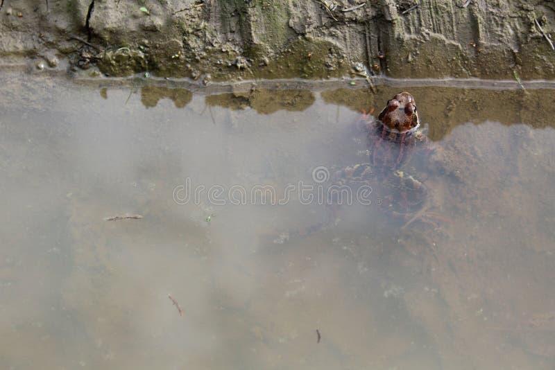 Fotografii żaba w stawie w kałuży, zdjęcie royalty free