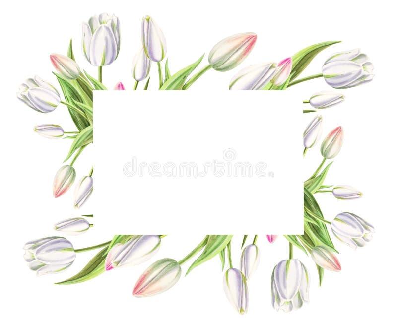 Fotografii i teksta rama od pięknych białych tulipanów Markiera rysunek adobe korekcj wysokiego obrazu photoshop ilo?ci obraz cyf obraz stock