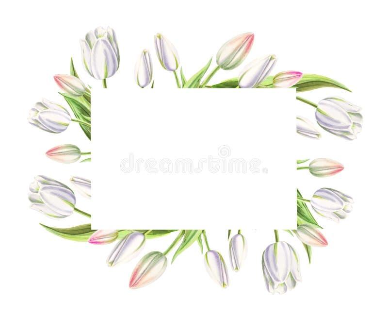 Fotografii i teksta rama od pięknych białych tulipanów Markiera rysunek adobe korekcj wysokiego obrazu photoshop ilo?ci obraz cyf obraz royalty free