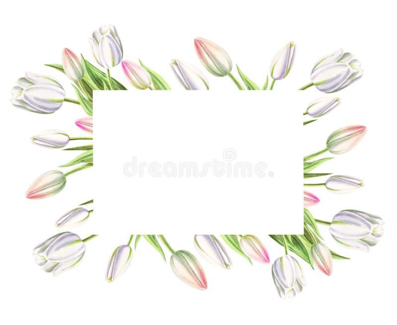 Fotografii i teksta rama od pięknych białych tulipanów Markiera rysunek adobe korekcj wysokiego obrazu photoshop ilo?ci obraz cyf obrazy royalty free