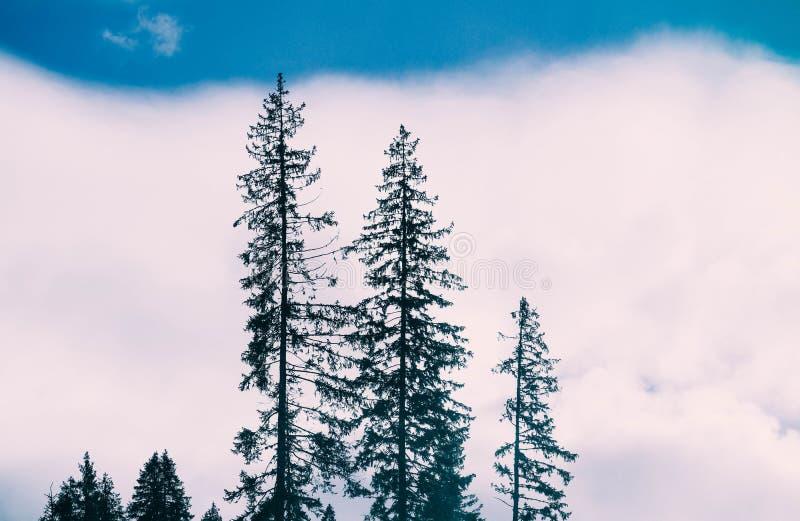 Fotografii przedstawiać tajemniczy drewna Mgłowa przerażająca scena Drzewa silhou obraz stock