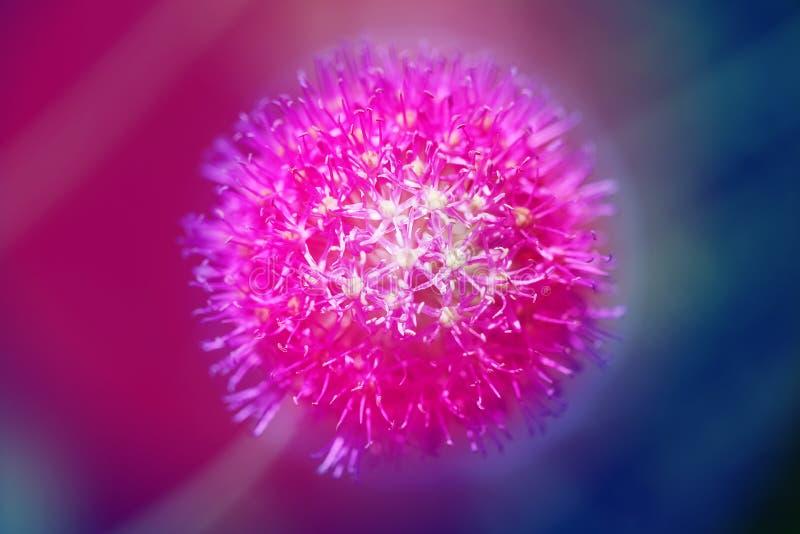 Fotografii wiosny bzu round kwiat zdjęcie stock