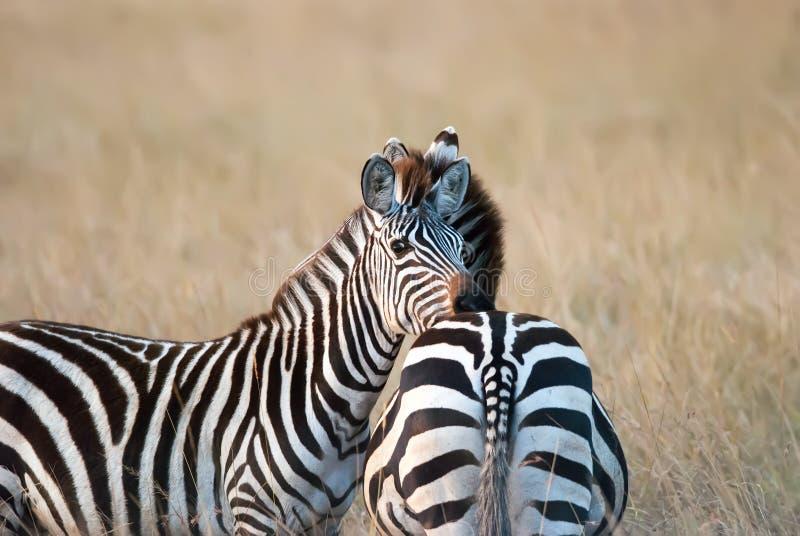 Fotografii zebra odpoczywa jej głowę na przyjaciela plecy Afrykańska sawanna fotografia stock