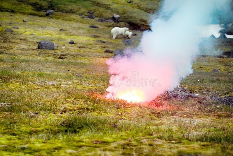 Fotografo attaccato dell'orso polare fotografia stock libera da diritti