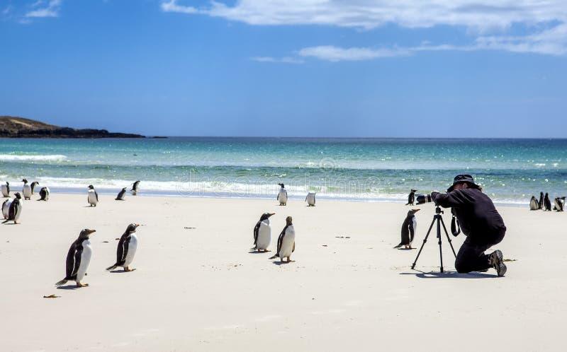 Fotografo con i pinguini a Falkland Islands immagini stock
