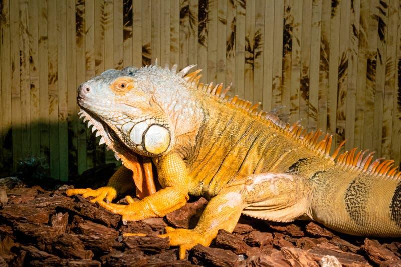 Fotoleguaan, reptiel, terrarium, exotische dieren stock foto's