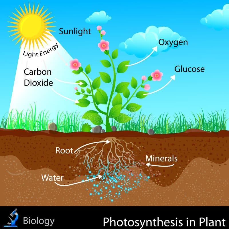 Fotosíntesis en planta stock de ilustración