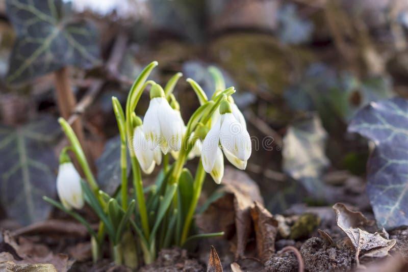 Fotos bonitas do snowdrop das profundidades da floresta fotografia de stock royalty free