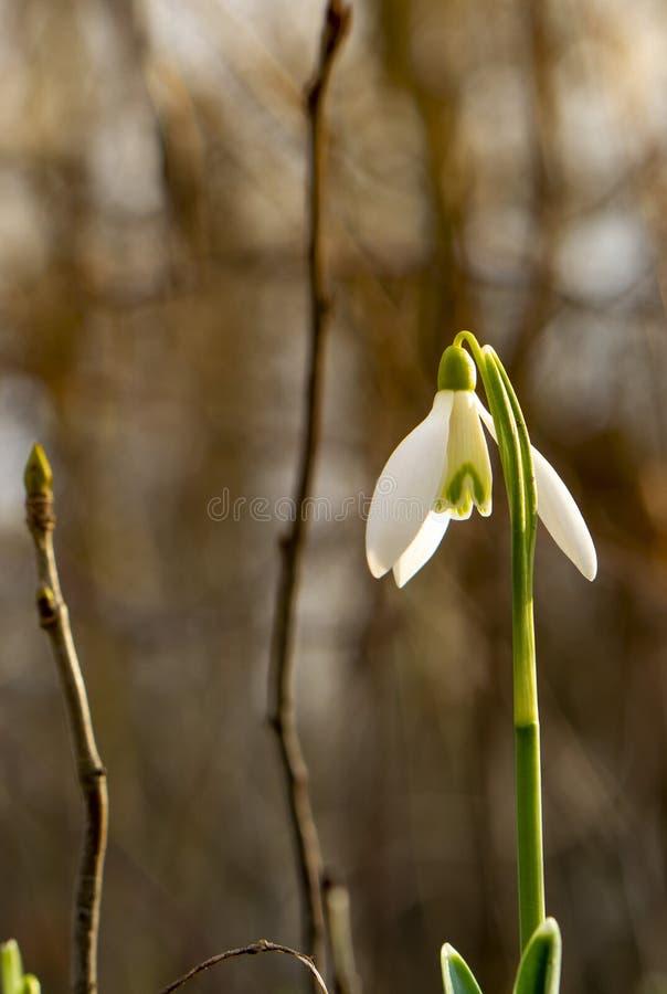 Fotos bonitas do snowdrop das profundidades da floresta imagens de stock