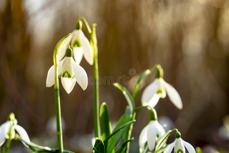 Fotos bonitas do snowdrop das profundidades da floresta imagem de stock royalty free