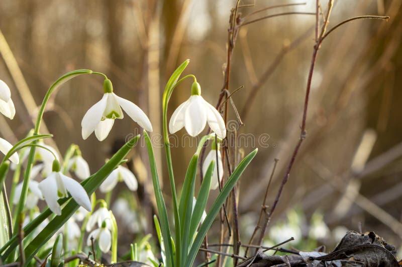 Fotos bonitas do snowdrop das profundidades da floresta imagem de stock