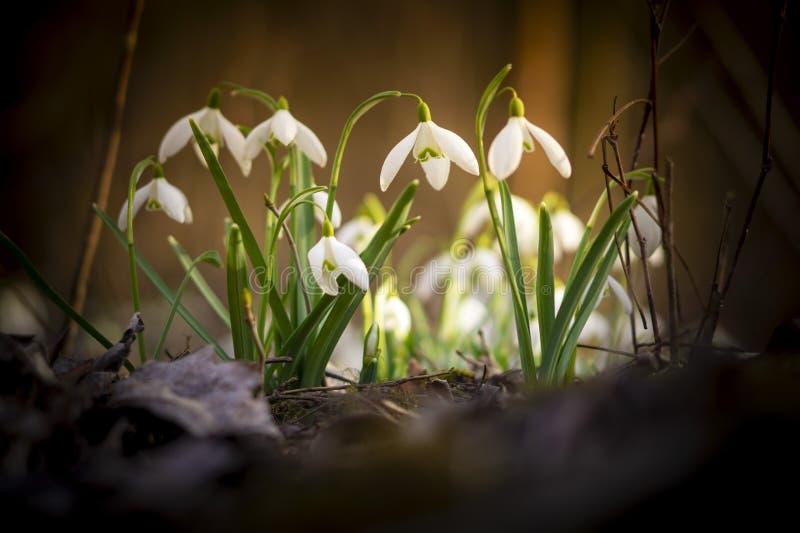Fotos bonitas do snowdrop das profundidades da floresta fotos de stock