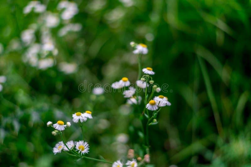 Fotos de algumas flores brancas pequenas, grande parque nacional Himalaia, vale de Sainj, Himachal Pradesh, Índia fotografia de stock