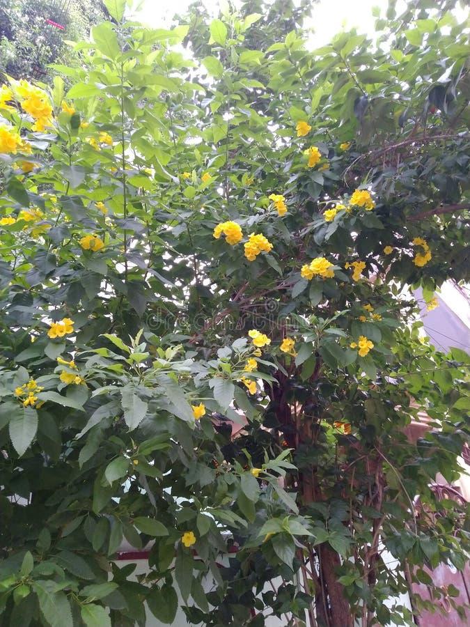 Fotos de flores naturales indias en la mañana imágenes de archivo libres de regalías