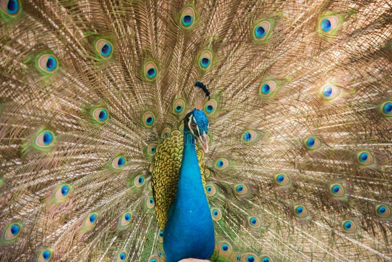 Fotos de los pavos reales que muestran plumas hermosas imágenes de archivo libres de regalías