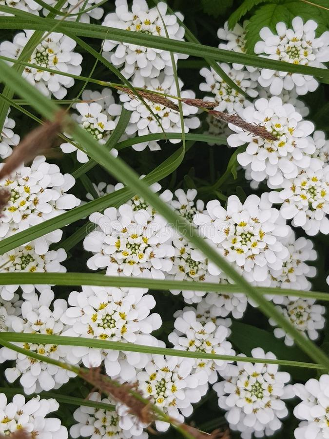 Fotos der ungew?hnlichen Sch?nheit, die wei?e sch?ne Blumen gefangennahmen stockfoto
