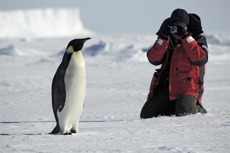 Fotos do pinguim foto de stock