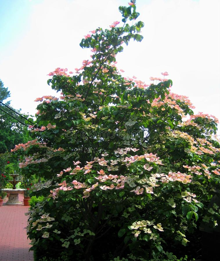 Fotos macras con los árboles ornamentales florecientes del verano hermoso del fondo del paisaje fotografía de archivo libre de regalías
