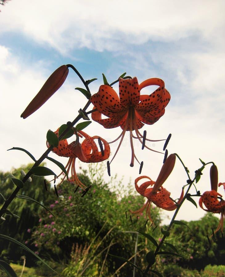 Fotos macras con los lirios de las flores en un paisaje del fondo del jardín botánico imagen de archivo libre de regalías