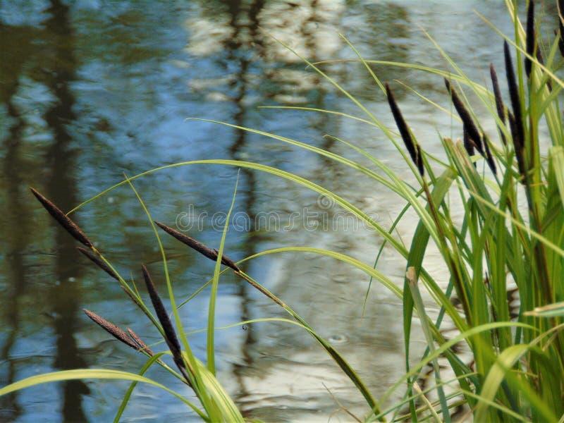 Fotos macro com água do rio do fundo da paisagem, vegetação verde dos juncos imagens de stock royalty free