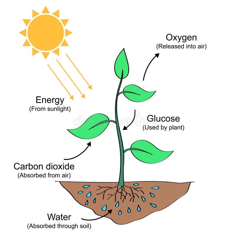 Fotosyntesprocessillustration royaltyfri illustrationer