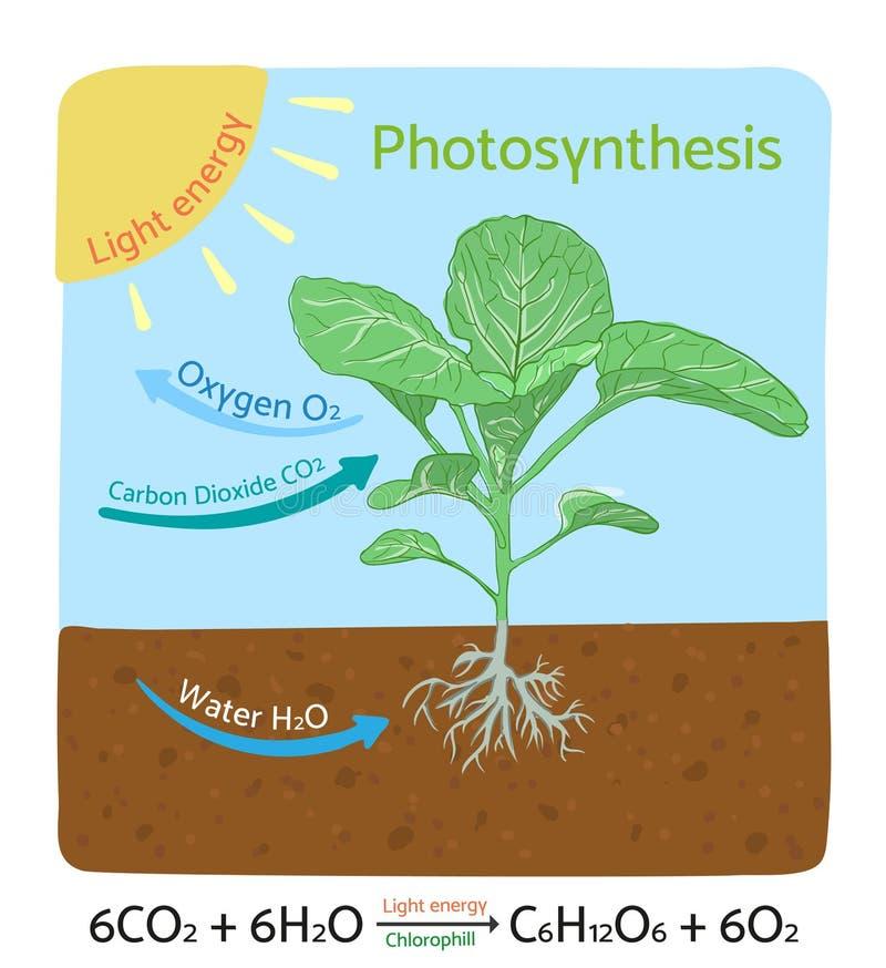 Fotosynteza diagram Schematyczna wektorowa ilustracja royalty ilustracja