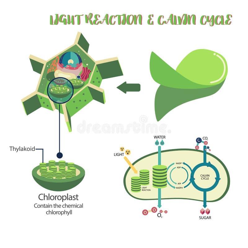 Fotosynteza proces diagram royalty ilustracja
