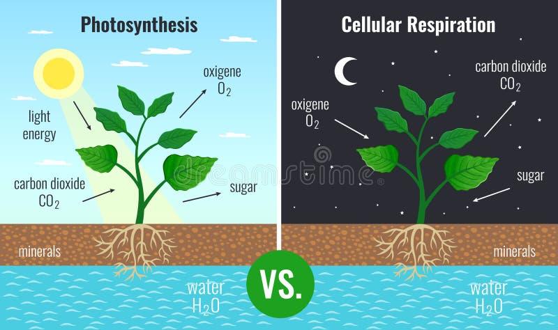 Fotosynthese-pädagogischer Plakat-Satz stock abbildung