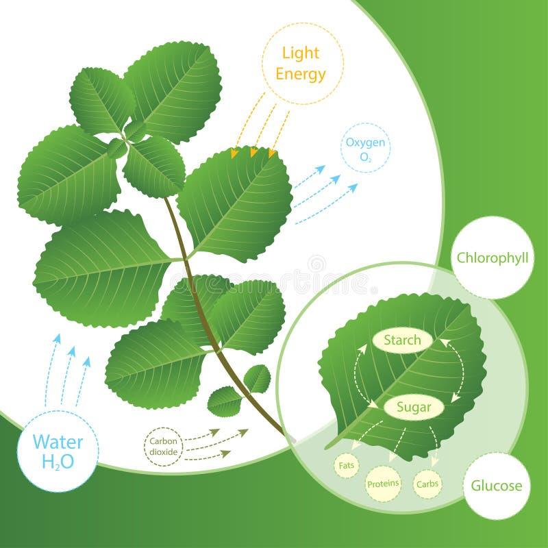Fotosyntheseprozeß in der Anlage Anlagen machen Lebensmittel unter Verwendung des Sonnenlichts Biologieentwurf der Fotosynthese f lizenzfreie abbildung