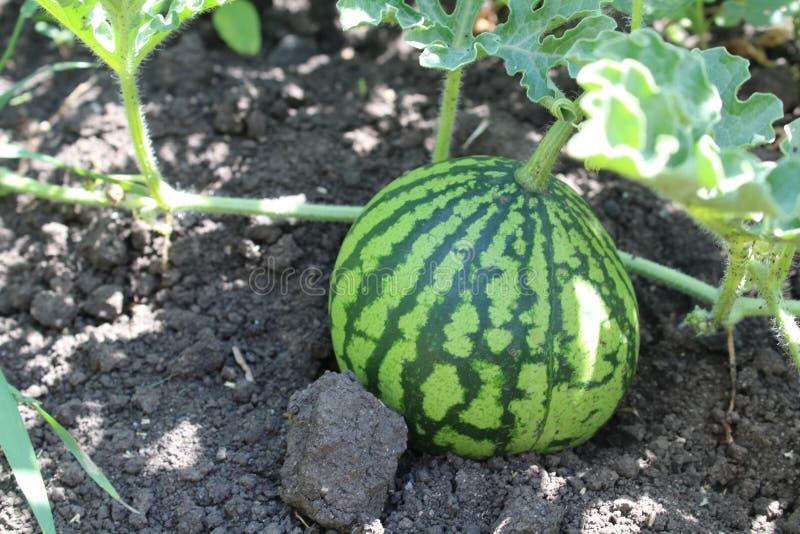 Fotovattenmelon på fältet i sommaren royaltyfri fotografi