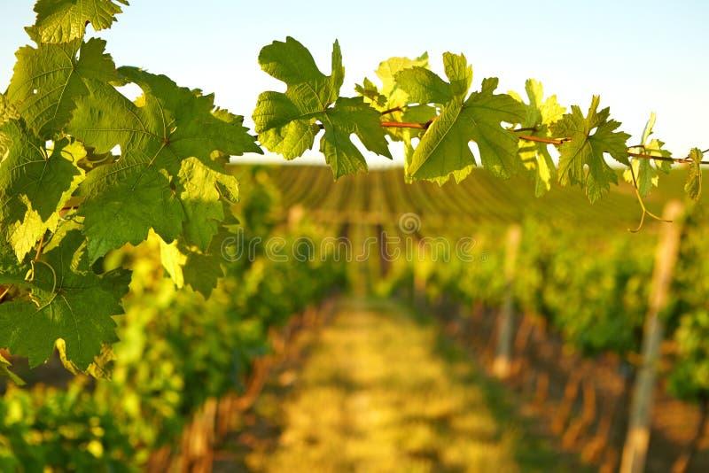 Fotoweinblätter in der Hintergrundansicht über Weinberg stockfotografie