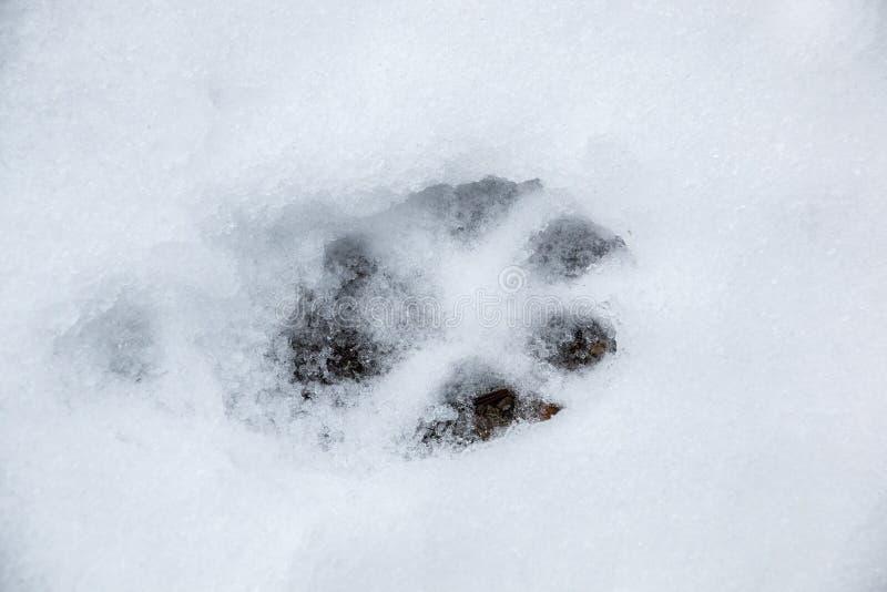 Fottryck av en hund eller en varg p? den vita sn?n arkivfoton
