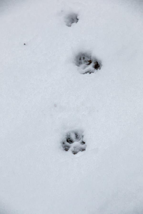 Fottryck av en hund eller en varg p? den vita sn?n arkivfoto